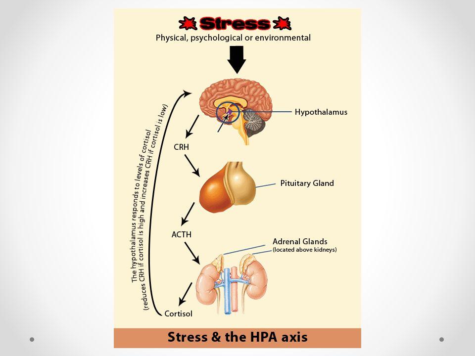Neuropeptyd Y osłabia działanie CRH DHEA dehydroepiandrosteron neutralizuje działanie hormonu stresu kortyzolu
