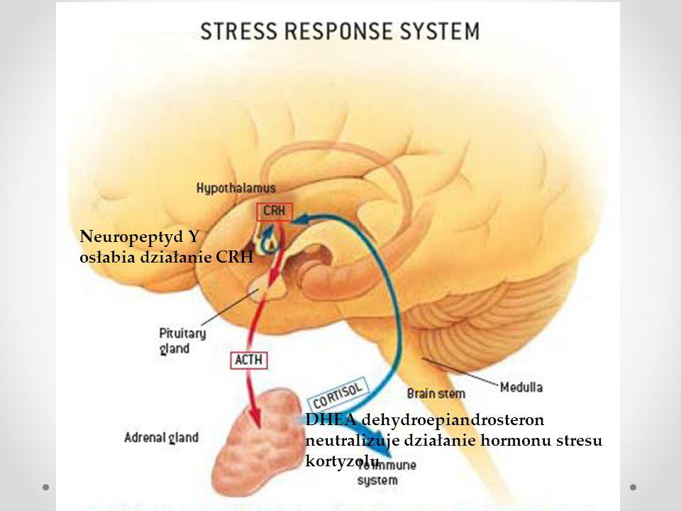 Rola białka δ -FosB w zjawisku odporno ś ci Czynnik transkrypcyjny białko δ -FosB uruchamia zestaw genów biorących udział w zjawisku odporności, elastyczności (resilience) Indukcja ΔFosB w nucleus accumbens, w odpowiedzi na stres zmniejsza pobudzenie glutaminergiczne (GluR2 AMPA) neuronów jądra półleżącego Behawioralnymi efektami tego działania jest mobilizacja, cierpliwość, optymizm, większe poczucie własnej wartości co może dać lepszą zdolność do radzenia sobie z trudnościami