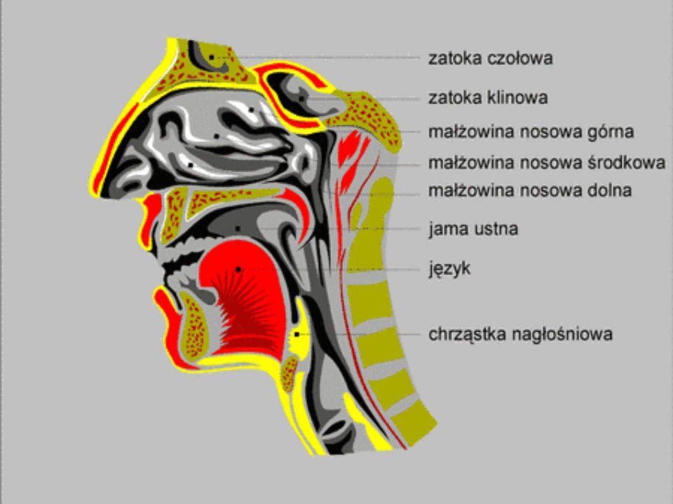 Maczugowata cewa włóknisto-mięśniowa, rozciągającą się od podstawy czaszki do VI kręgu szyjnego.