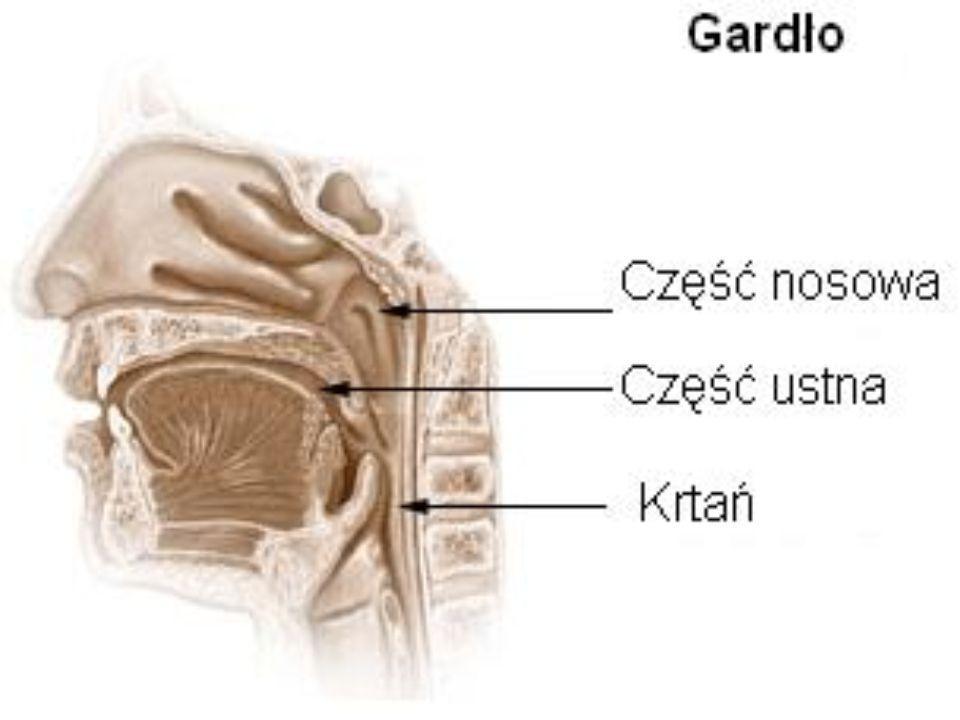 Narząd układu oddechowego, sprężysta cewa, stanowiąca przedłużenie krtani i zapewniająca dopływ powietrza do płuc.