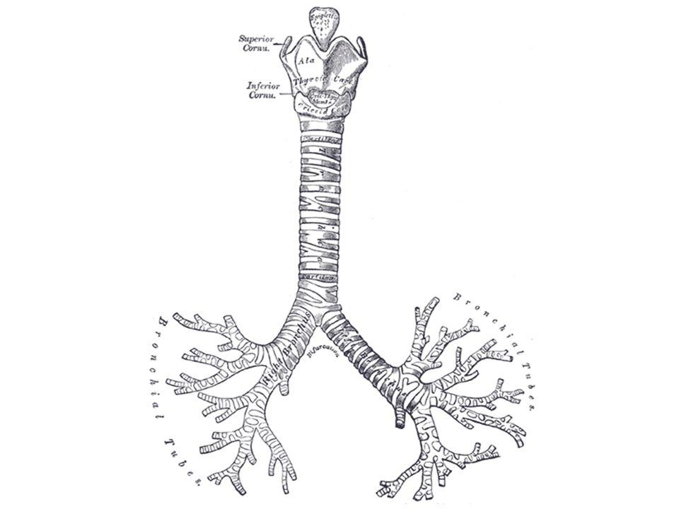 Jest to zespół rozgałęziających się rurek, o średnicy większej niż 1 mm, doprowadzających i odprowadzających powietrze do/z płuc.