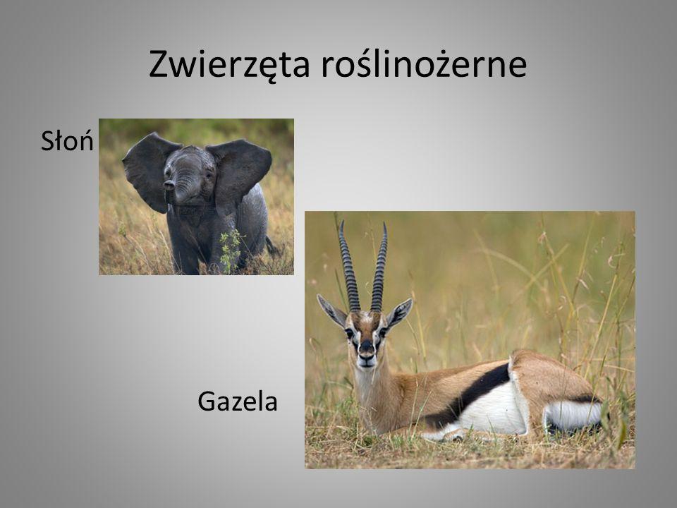 Zwierzęta roślinożerne Słoń Gazela
