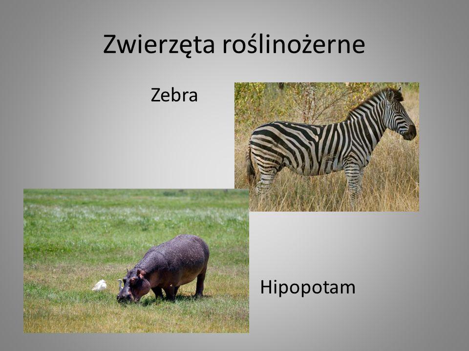 Zwierzęta roślinożerne Zebra Hipopotam