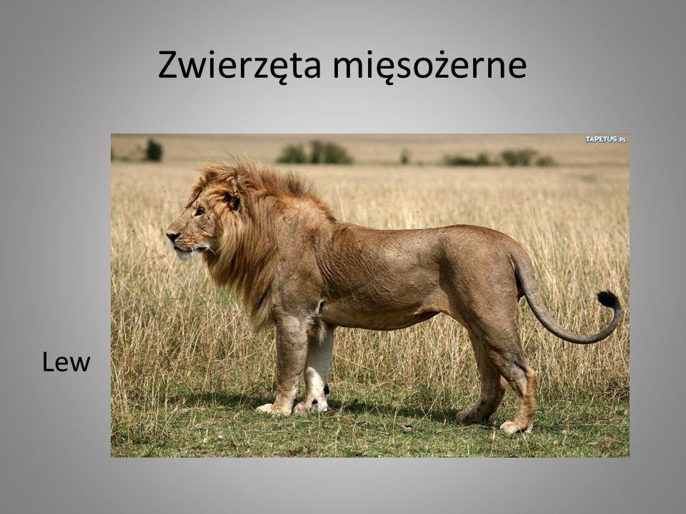 Zwierzęta mięsożerne Lew