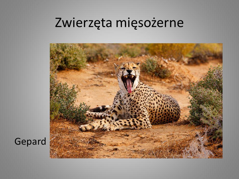 Zwierzęta mięsożerne Gepard