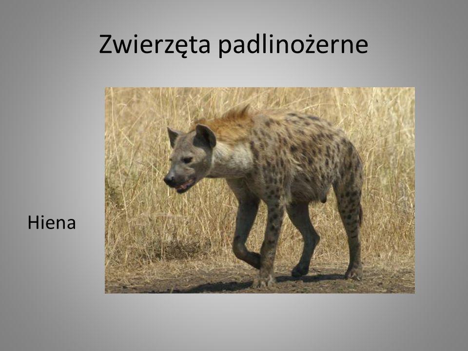 Zwierzęta padlinożerne Hiena