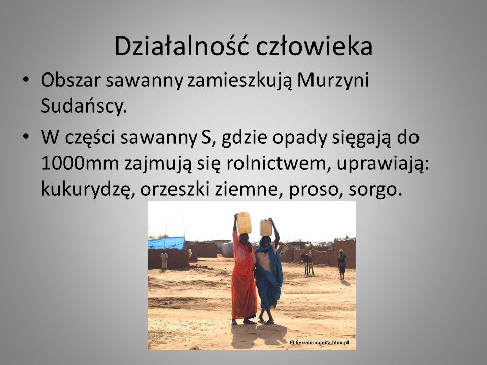 Działalność człowieka Obszar sawanny zamieszkują Murzyni Sudańscy. W części sawanny S, gdzie opady sięgają do 1000mm zajmują się rolnictwem, uprawiają
