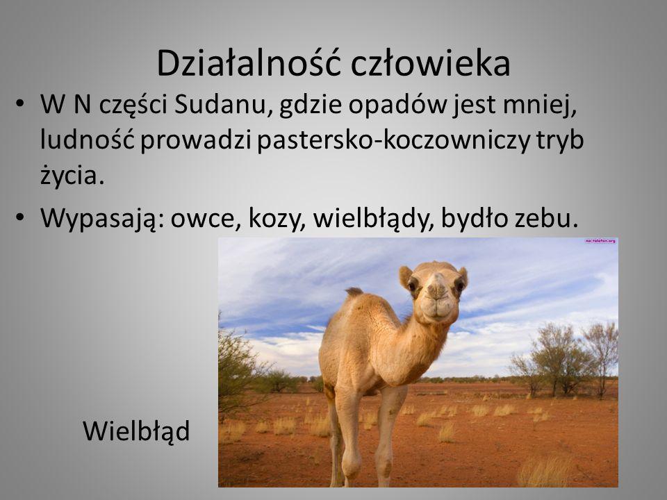 Działalność człowieka W N części Sudanu, gdzie opadów jest mniej, ludność prowadzi pastersko-koczowniczy tryb życia. Wypasają: owce, kozy, wielbłądy,