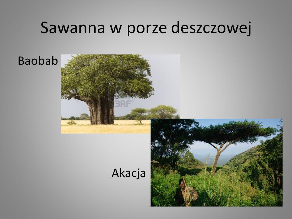 Baobab Akacja