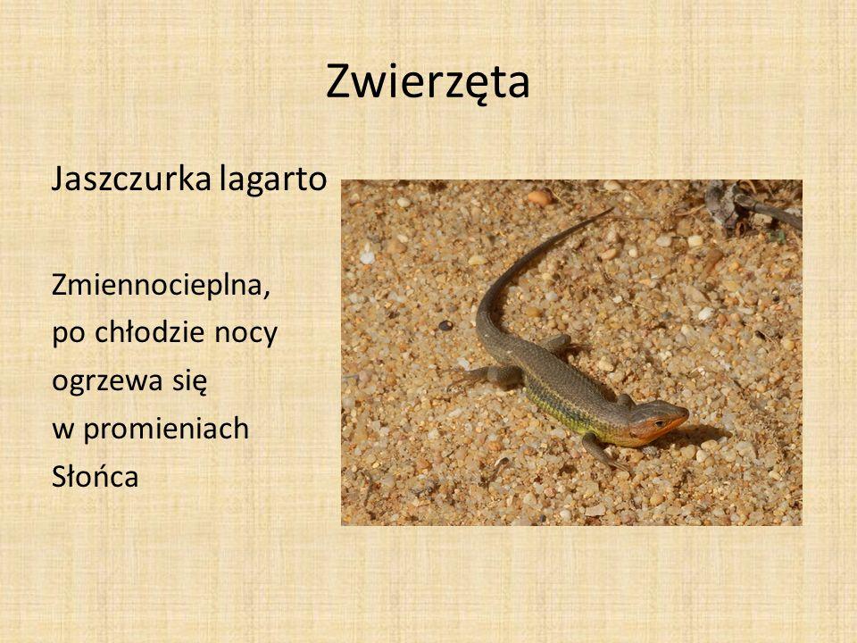 Zwierzęta Skoczek pustynny Skorpion