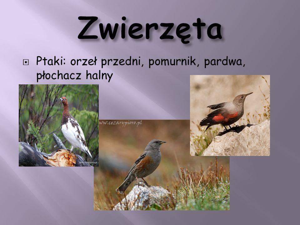 Ptaki: orzeł przedni, pomurnik, pardwa, płochacz halny