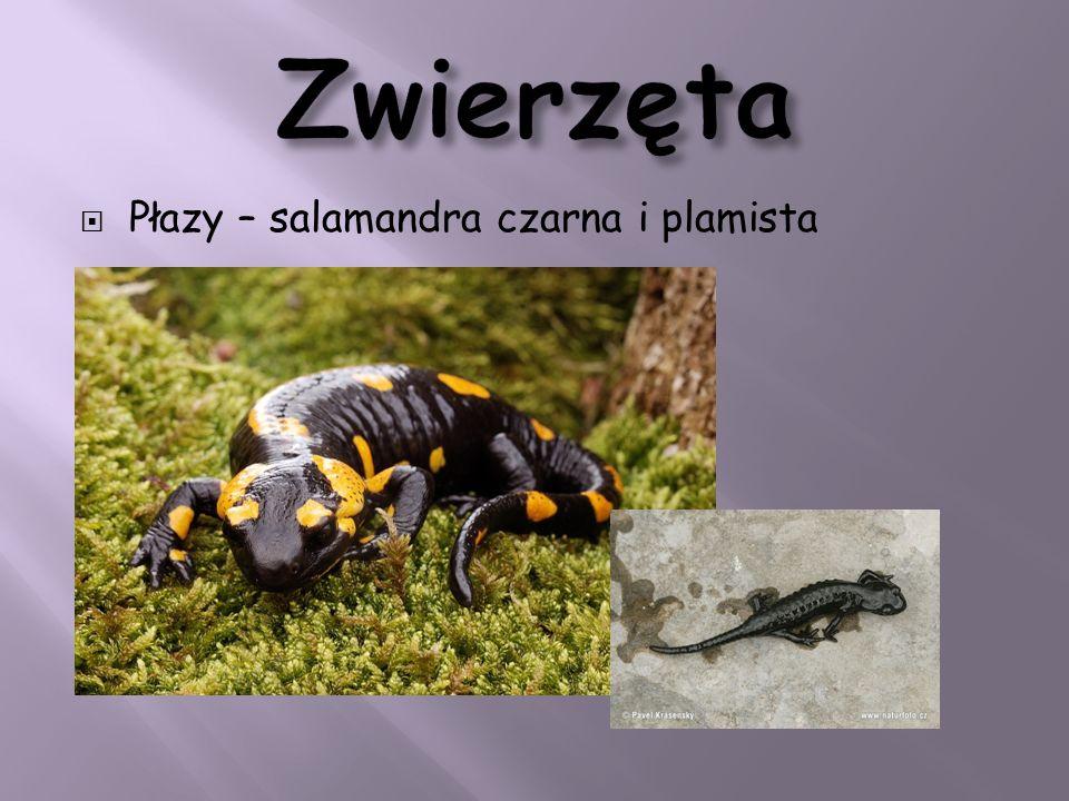 Płazy – salamandra czarna i plamista