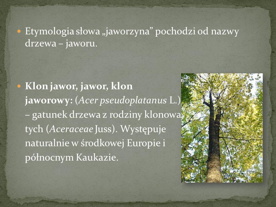 Etymologia słowa jaworzyna pochodzi od nazwy drzewa – jaworu. Klon jawor, jawor, klon jaworowy: (Acer pseudoplatanus L.) – gatunek drzewa z rodziny kl