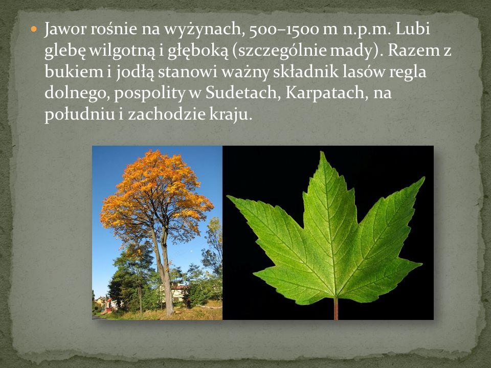 Jawor rośnie na wyżynach, 500–1500 m n.p.m. Lubi glebę wilgotną i głęboką (szczególnie mady). Razem z bukiem i jodłą stanowi ważny składnik lasów regl