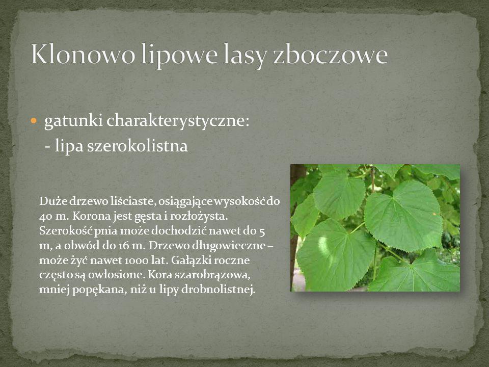 gatunki charakterystyczne: - lipa szerokolistna Duże drzewo liściaste, osiągające wysokość do 40 m. Korona jest gęsta i rozłożysta. Szerokość pnia moż