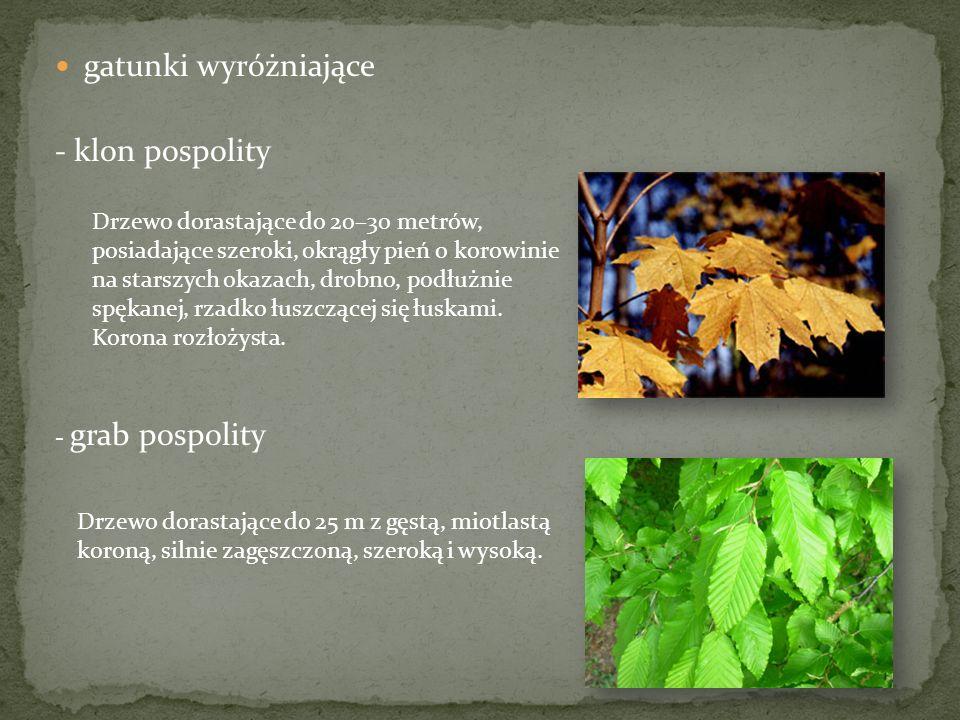gatunki wyróżniające - klon pospolity - grab pospolity Drzewo dorastające do 20–30 metrów, posiadające szeroki, okrągły pień o korowinie na starszych