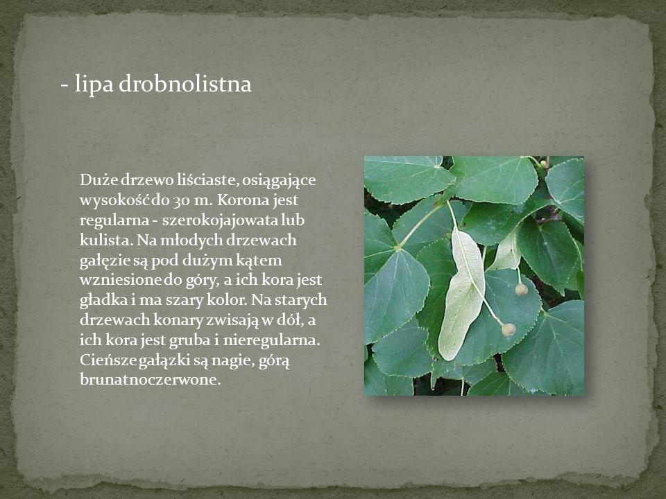 - lipa drobnolistna Duże drzewo liściaste, osiągające wysokość do 30 m. Korona jest regularna - szerokojajowata lub kulista. Na młodych drzewach gałęz