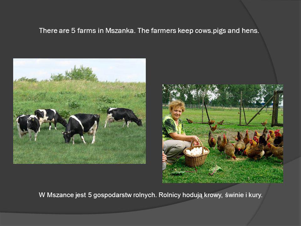 There are 5 farms in Mszanka. The farmers keep cows.pigs and hens. W Mszance jest 5 gospodarstw rolnych. Rolnicy hodują krowy, świnie i kury.
