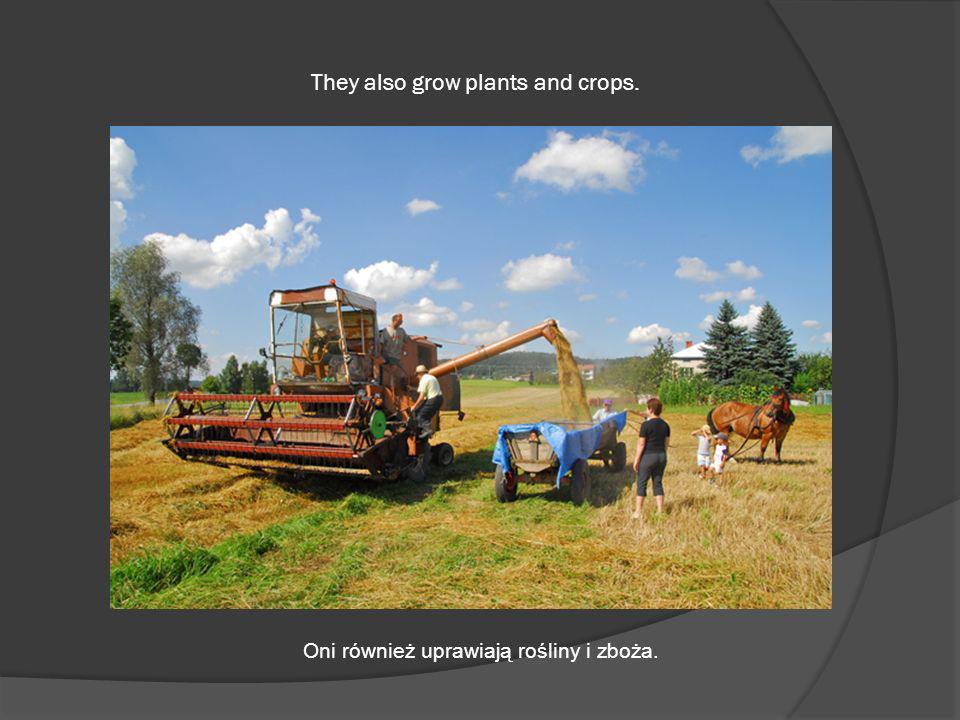 They also grow plants and crops. Oni również uprawiają rośliny i zboża.