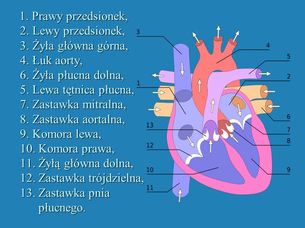 1. Prawy przedsionek, 2. Lewy przedsionek, 3. Żyła główna górna, 4. Łuk aorty, 6. Żyła płucna dolna, 5. Lewa tętnica płucna, 7. Zastawka mitralna, 8.