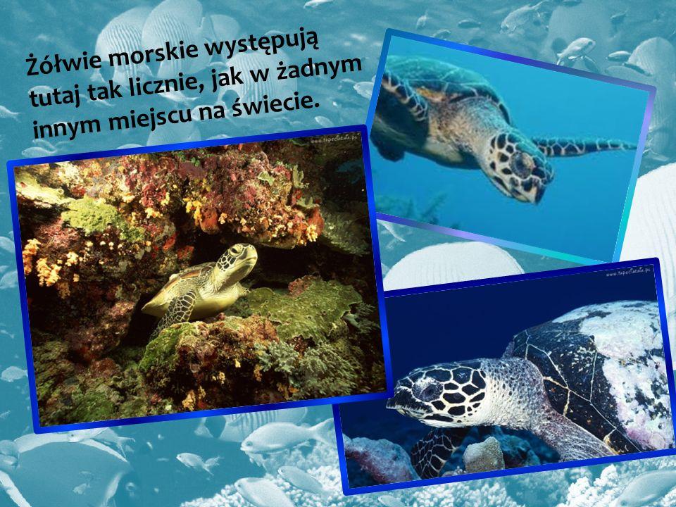 Żółwie morskie występują tutaj tak licznie, jak w żadnym innym miejscu na świecie.