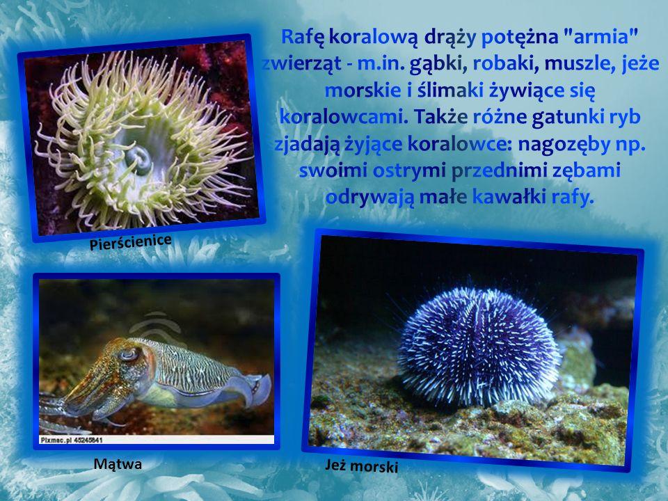 Jeż morski Pierścienice Mątwa
