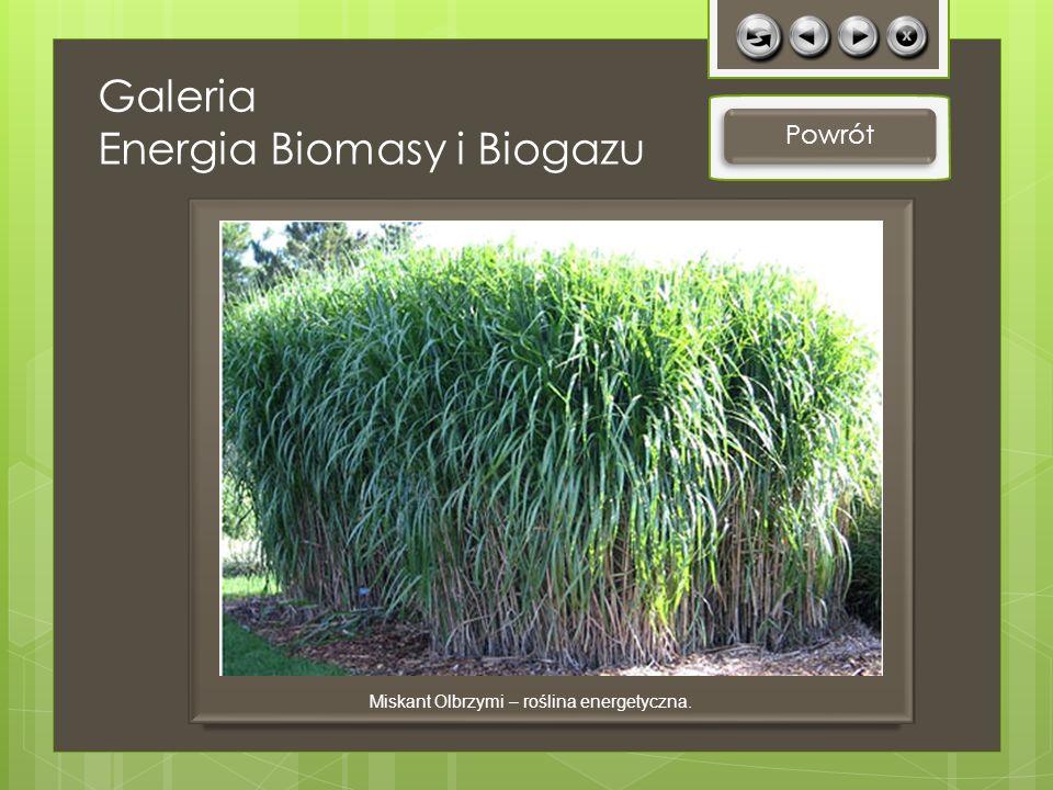 Galeria Energia Biomasy i Biogazu Powrót Miskant Olbrzymi – roślina energetyczna.