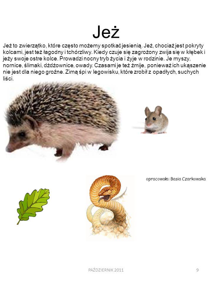 9 Jeż Jeż to zwierzątko, które często możemy spotkać jesienią. Jeż, chociaż jest pokryty kolcami, jest też łagodny i tchórzliwy. Kiedy czuje się zagro