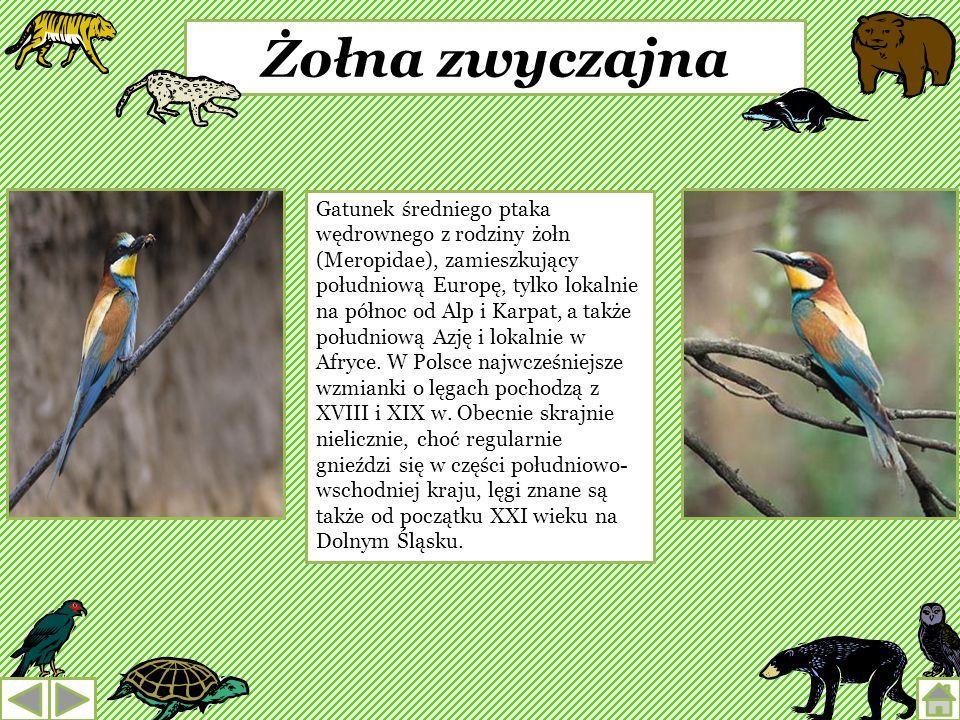 Łasica Gatunek niewielkiego drapieżnego ssaka z rodziny łasicowatych. Łasica zamieszkuje skraje lasów, łąki i pola Europy (oprócz Islandii, Irlandii,