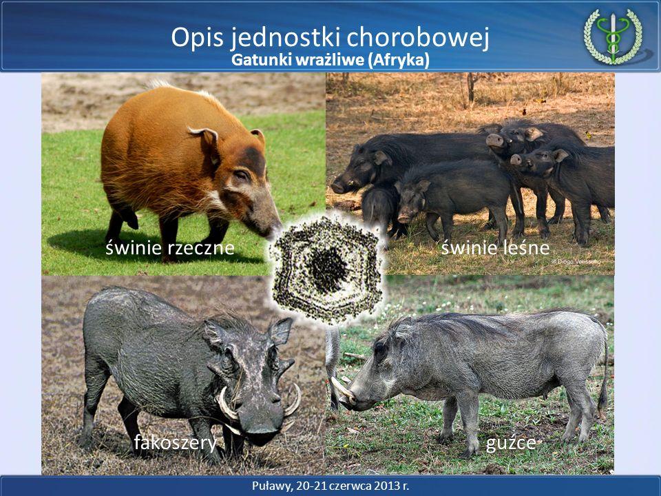 Opis jednostki chorobowej Puławy, 20-21 czerwca 2013 r. świnie rzeczneświnie leśne fakoszeryguźce Gatunki wrażliwe (Afryka)