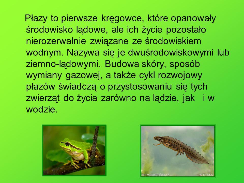 Płazy są zmiennocieplne, dlatego najwięcej gatunków tych zwierząt żyje w klimacie gorącym.