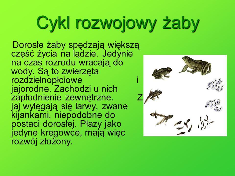 Cykl rozwojowy żaby Dorosłe żaby spędzają większą część życia na lądzie. Jedynie na czas rozrodu wracają do wody. Są to zwierzęta rozdzielnopłciowe i