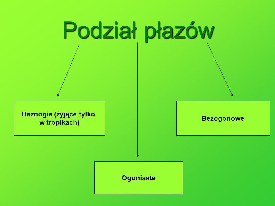 Polskie płazy bezogonowe to między innymi żaby, kumaki, ropuchy i rzekotka.