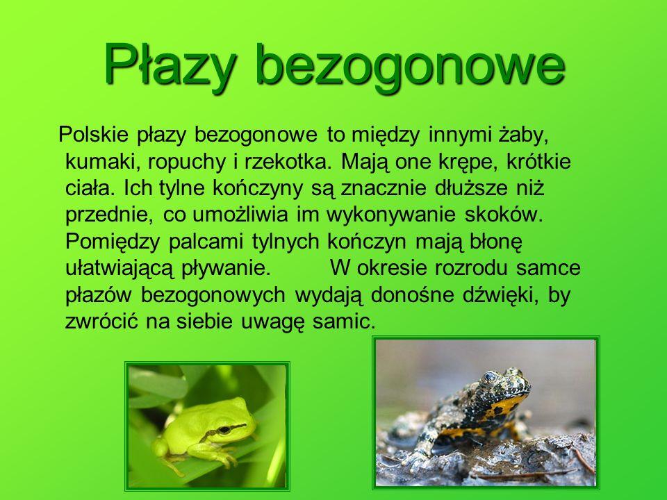 Polskie płazy bezogonowe to między innymi żaby, kumaki, ropuchy i rzekotka. Mają one krępe, krótkie ciała. Ich tylne kończyny są znacznie dłuższe niż