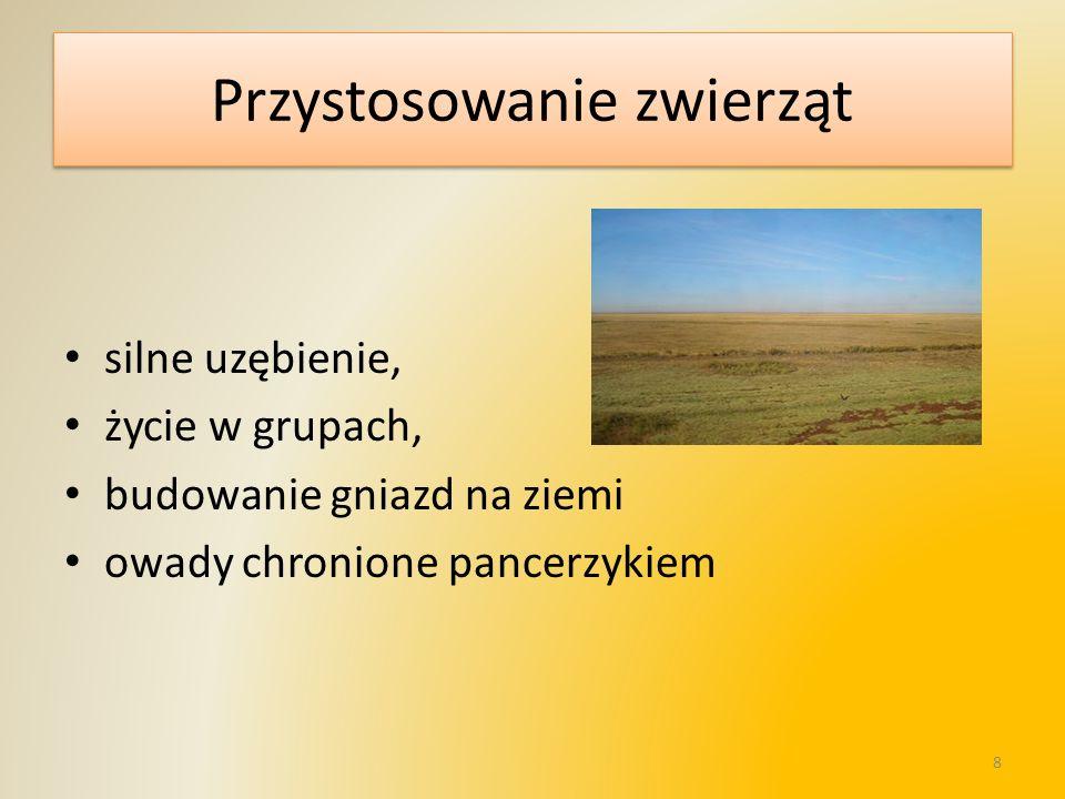 By canorus Koń Przewalskiego Nieświszczuk 9