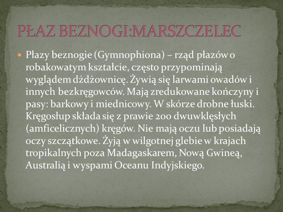 Płazy beznogie (Gymnophiona) – rząd płazów o robakowatym kształcie, często przypominają wyglądem dżdżownicę. Żywią się larwami owadów i innych bezkręg