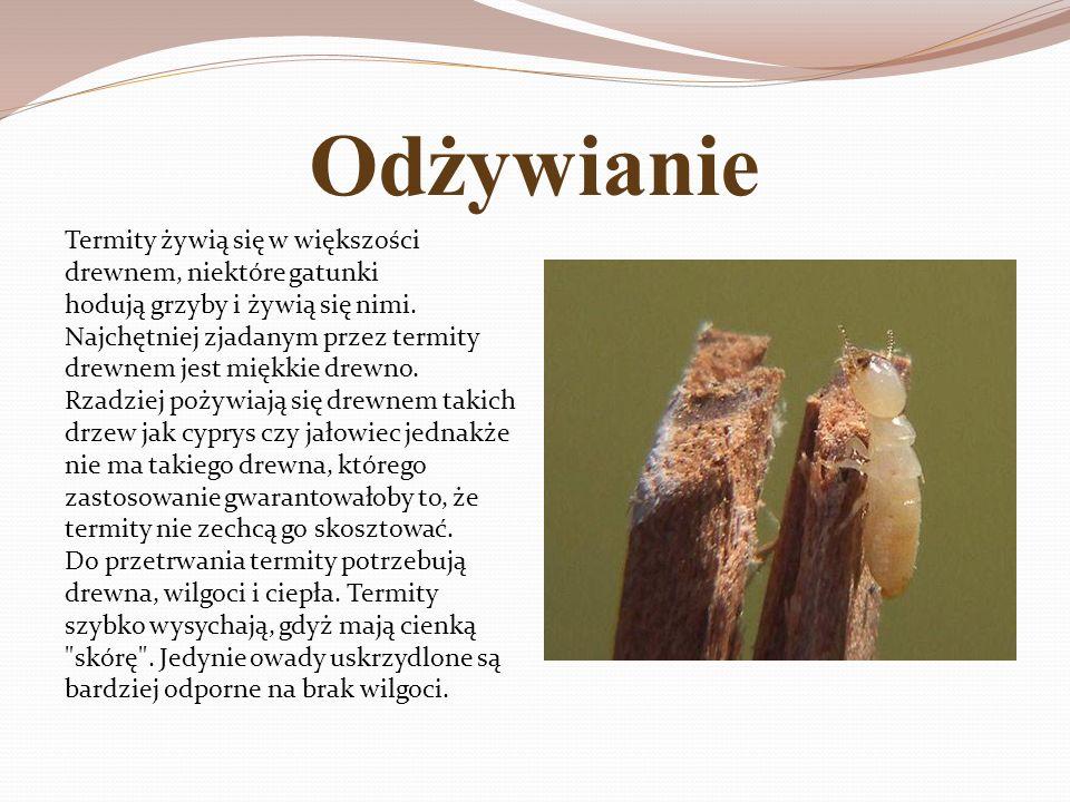 Odżywianie Termity żywią się w większości drewnem, niektóre gatunki hodują grzyby i żywią się nimi. Najchętniej zjadanym przez termity drewnem jest mi