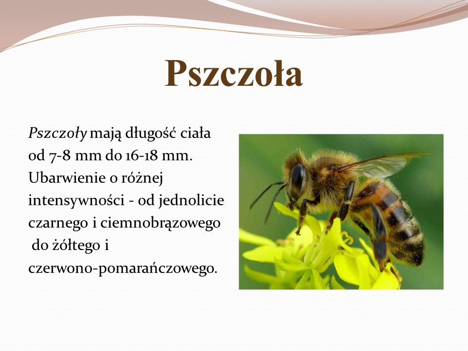 Pszczoła Pszczoły mają długość ciała od 7-8 mm do 16-18 mm. Ubarwienie o różnej intensywności - od jednolicie czarnego i ciemnobrązowego do żółtego i