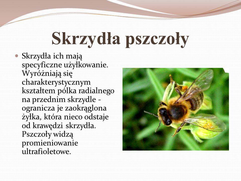 Skrzydła pszczoły Skrzydła ich mają specyficzne użyłkowanie. Wyróżniają się charakterystycznym kształtem pólka radialnego na przednim skrzydle - ogran
