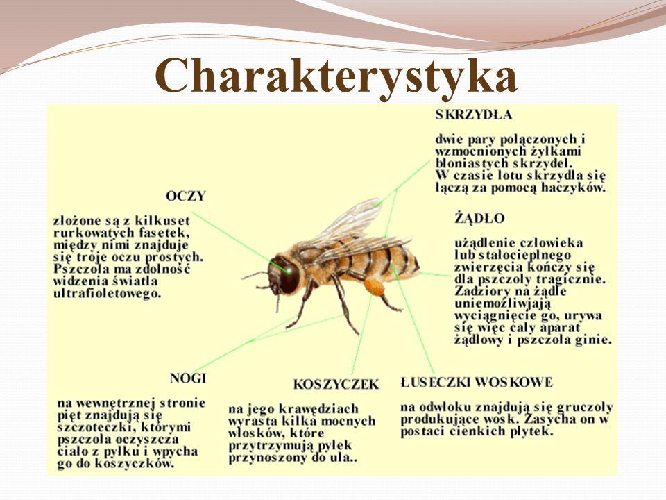 Gatunki Apis cerana Fabr.-pszczoła wschodnia