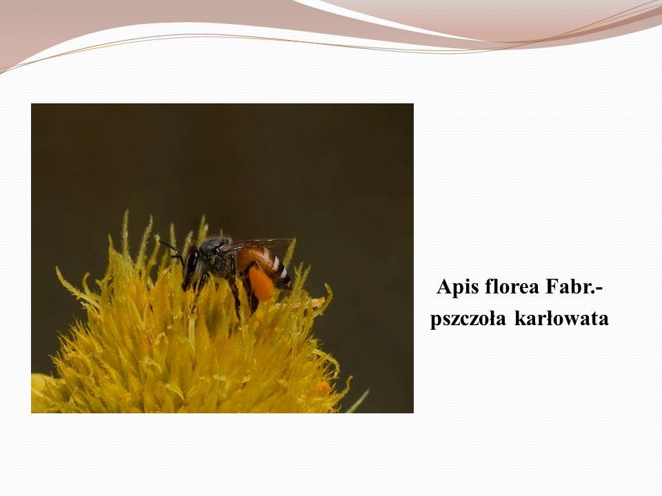 Apis mellifica L., syn. Apis mellifera L.-pszczoła miodna