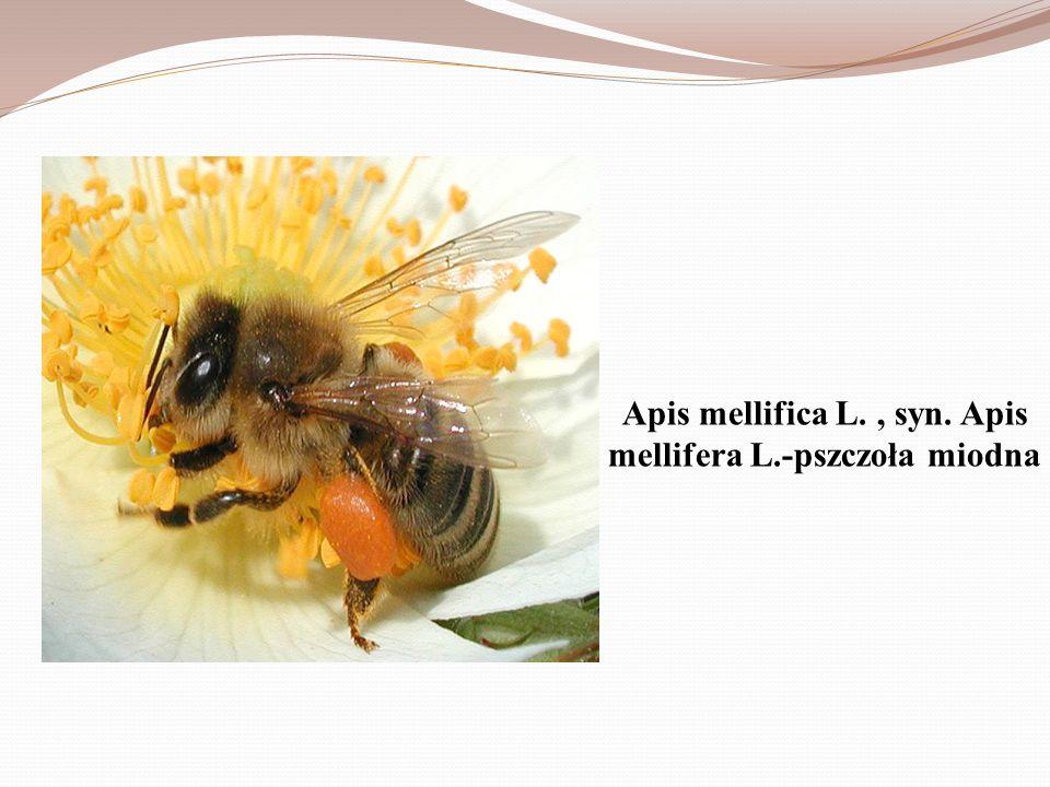 Mrówka Mrówkowate (Formicidae) rodzina owadów należąca do rzędu błonkówek, podrzędu trzonkówek.