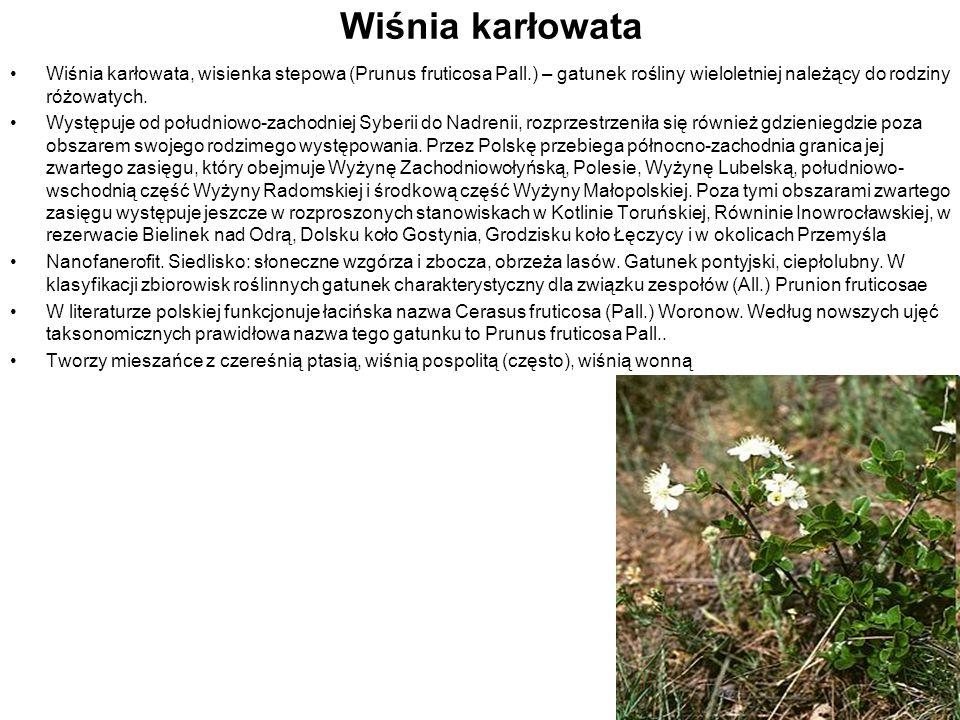 Wiśnia karłowata Wiśnia karłowata, wisienka stepowa (Prunus fruticosa Pall.) – gatunek rośliny wieloletniej należący do rodziny różowatych. Występuje