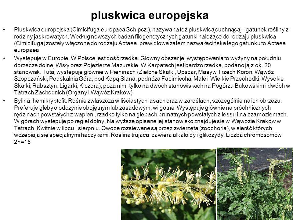 pluskwica europejska Pluskwica europejska (Cimicifuga europaea Schipcz.), nazywana też pluskwicą cuchnącą – gatunek rośliny z rodziny jaskrowatych. We