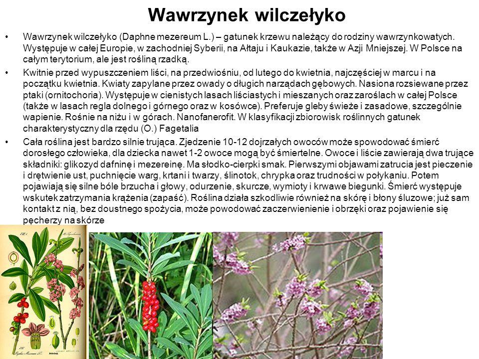 Wawrzynek wilczełyko Wawrzynek wilczełyko (Daphne mezereum L.) – gatunek krzewu należący do rodziny wawrzynkowatych. Występuje w całej Europie, w zach