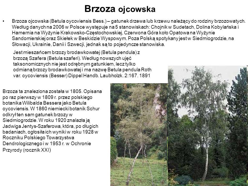 Brzoza ojcowska Brzoza ojcowska (Betula oycoviensis Bess.) – gatunek drzewa lub krzewu należący do rodziny brzozowatych. Według danych na 2006 w Polsc