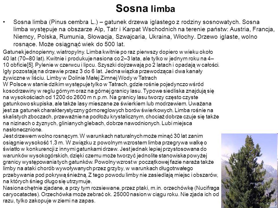 Sosna limba Sosna limba (Pinus cembra L.) – gatunek drzewa iglastego z rodziny sosnowatych. Sosna limba występuje na obszarze Alp, Tatr i Karpat Wscho