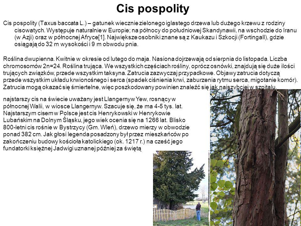 Cis pospolity Cis pospolity (Taxus baccata L.) – gatunek wiecznie zielonego iglastego drzewa lub dużego krzewu z rodziny cisowatych. Występuje natural