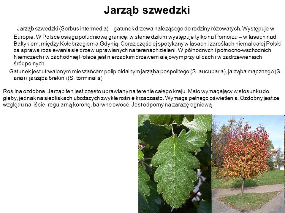 Jarząb szwedzki Jarząb szwedzki (Sorbus intermedia) – gatunek drzewa należącego do rodziny różowatych. Występuje w Europie. W Polsce osiąga południową