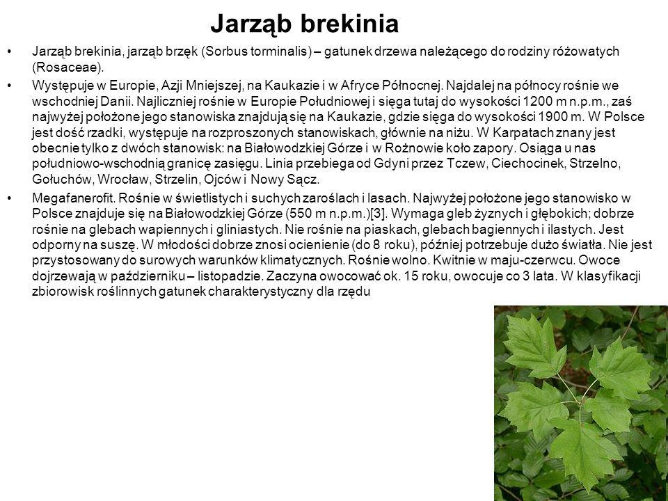Jarząb brekinia Jarząb brekinia, jarząb brzęk (Sorbus torminalis) – gatunek drzewa należącego do rodziny różowatych (Rosaceae). Występuje w Europie, A